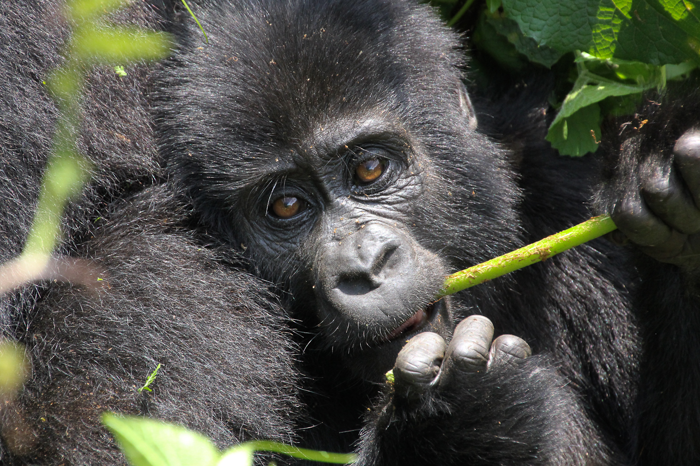 Baby Christmas. Each Mountain Gorilla has a name, this one was named for its date of birth.