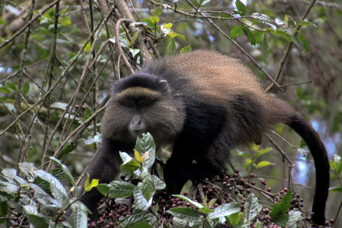 Golden Monkey in Mgahinga National Park