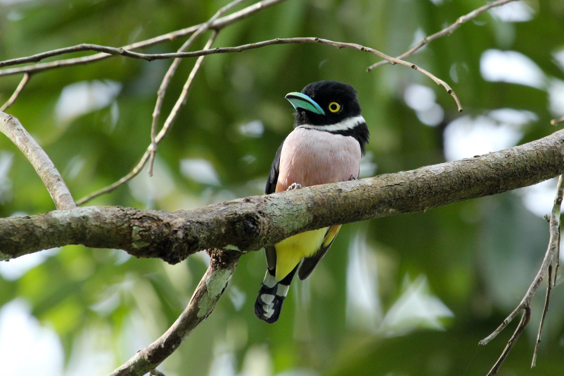Black-and-Yellow-Broadbill