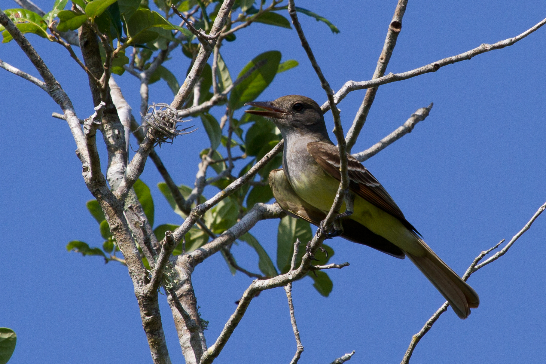 Great Crested Flycatcher near Sarasota