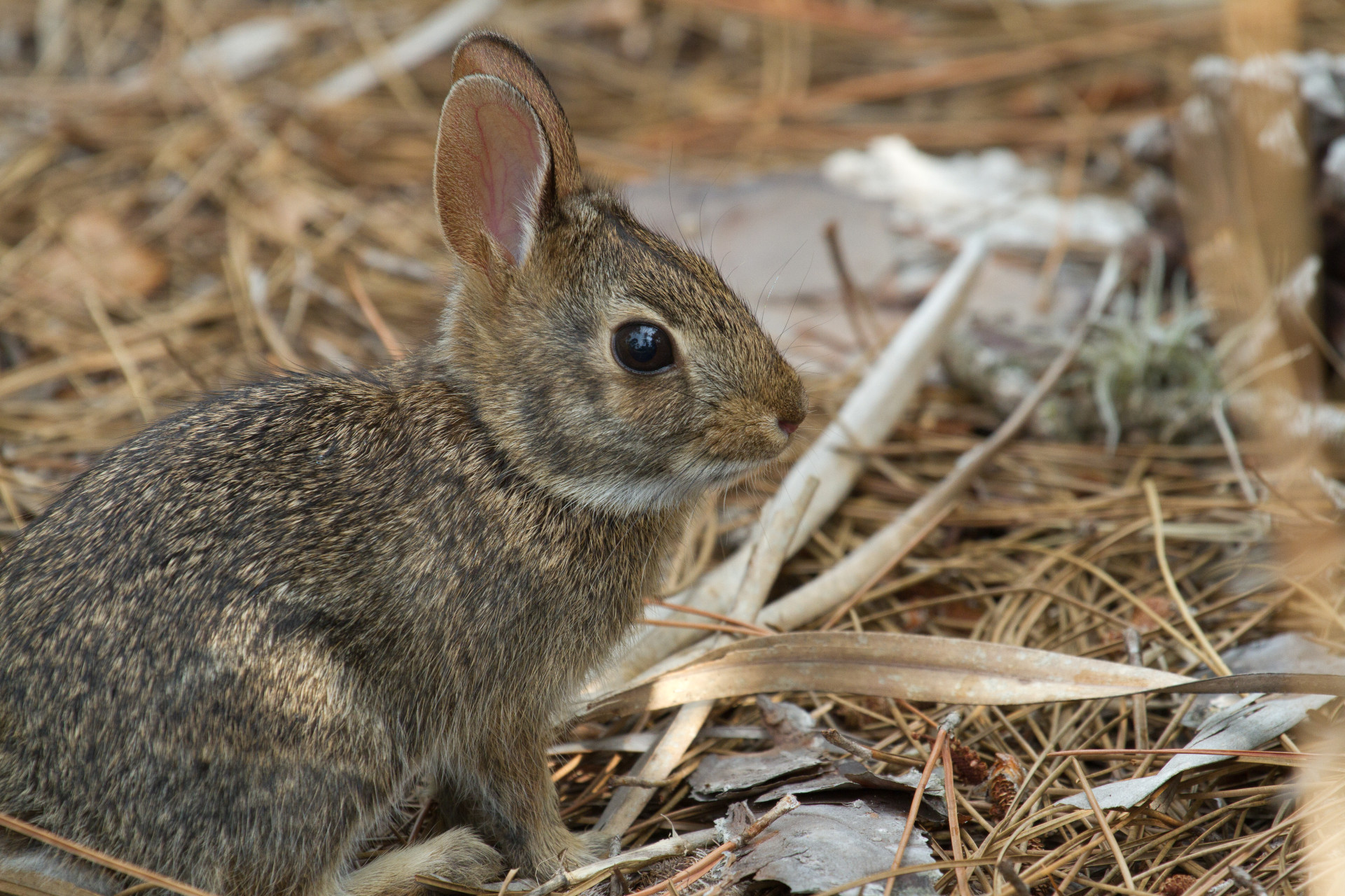 Eastern Cottontail Rabbit. Bobcat food!