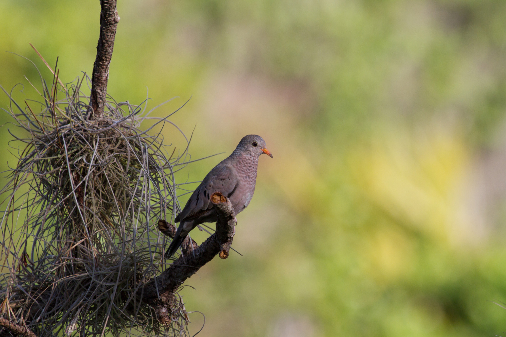 Common Ground Dove in Lemon Bay