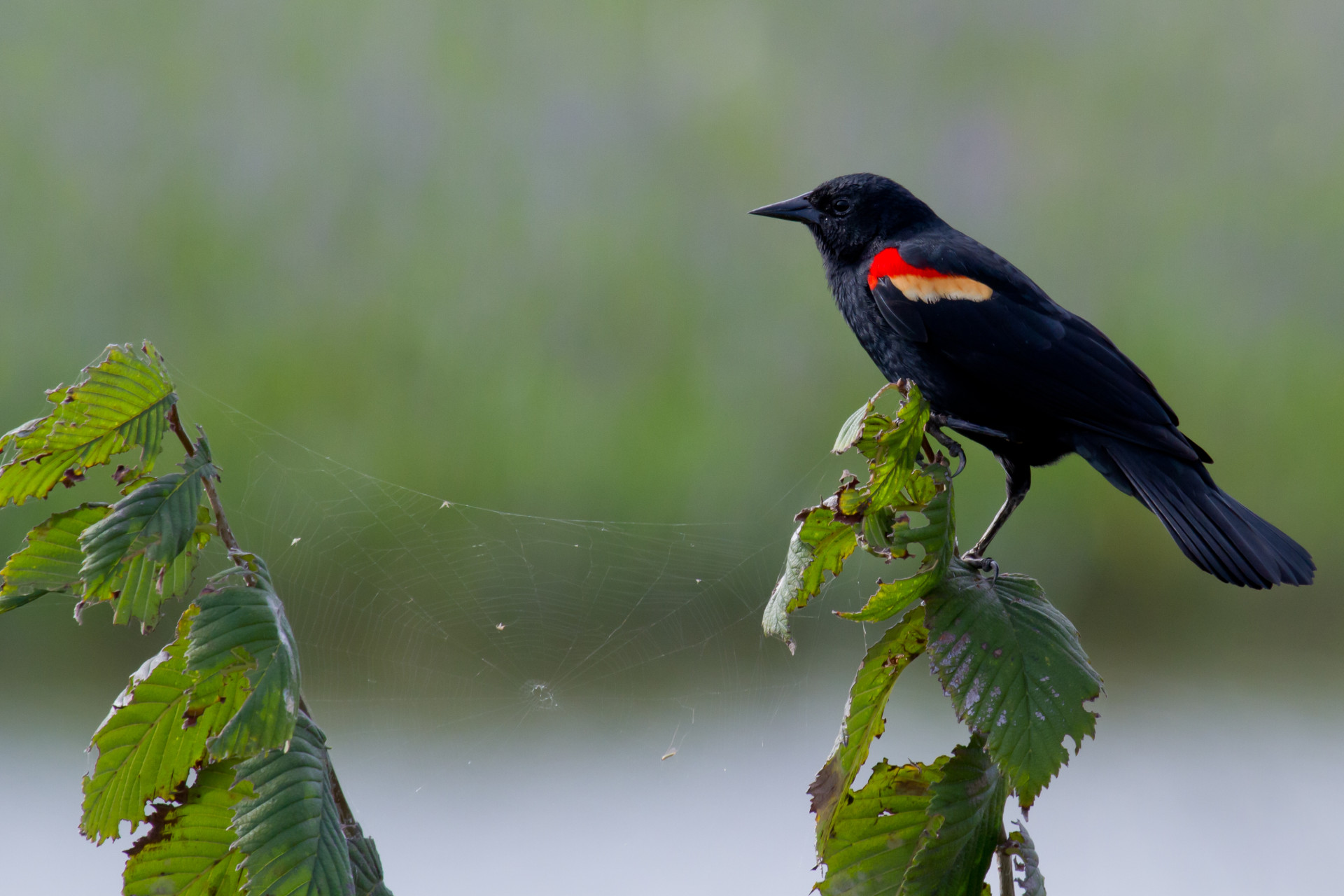 Redwing Blackbird in the Celery Fields