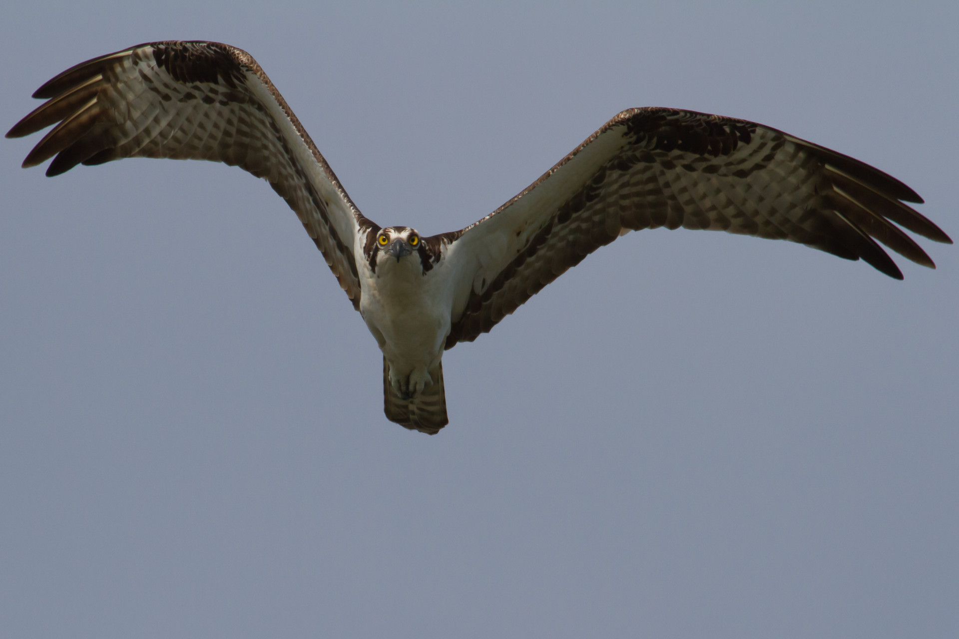 An Osprey in the Celery Fields