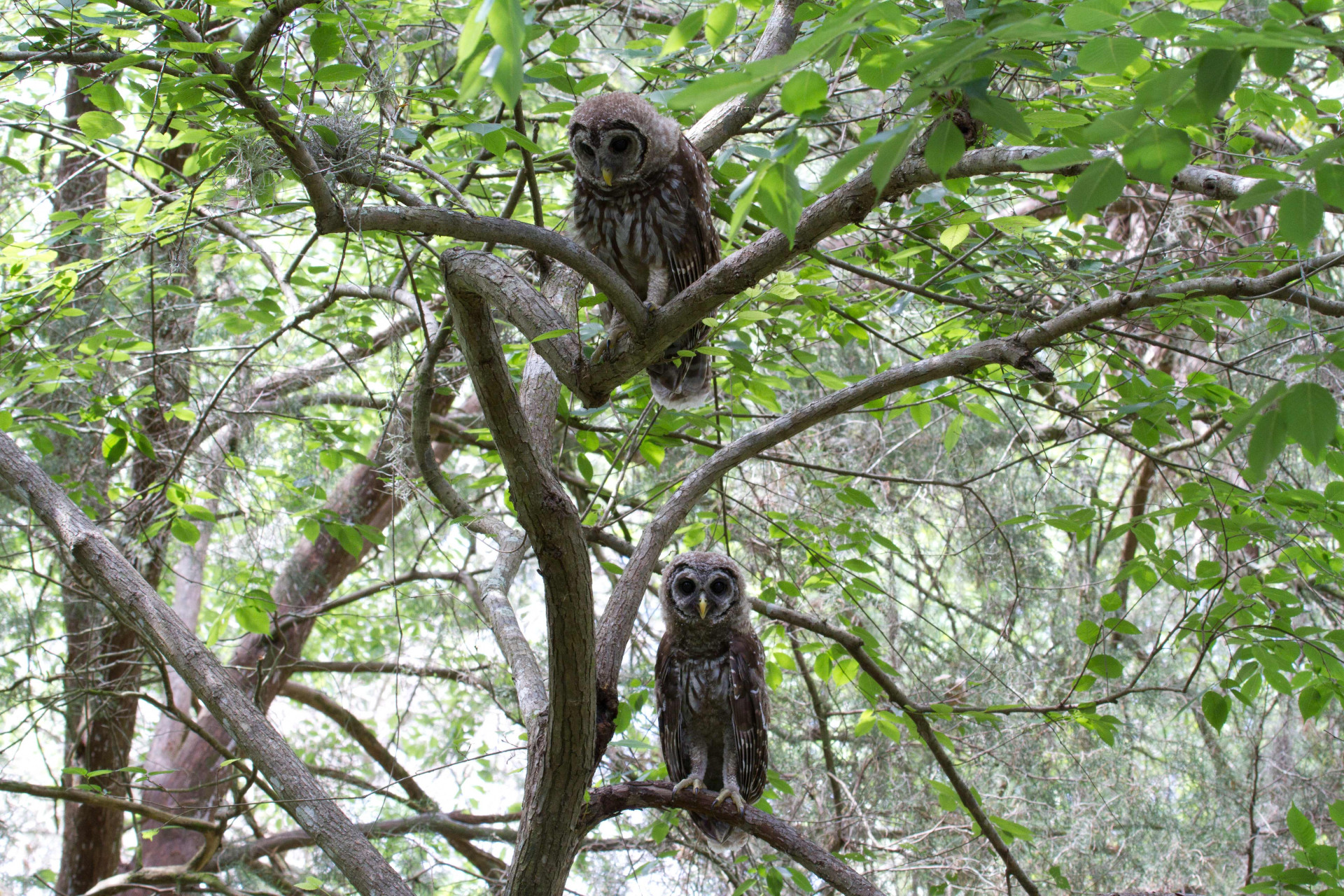 Two juvenile Barred Owls in Sarasota