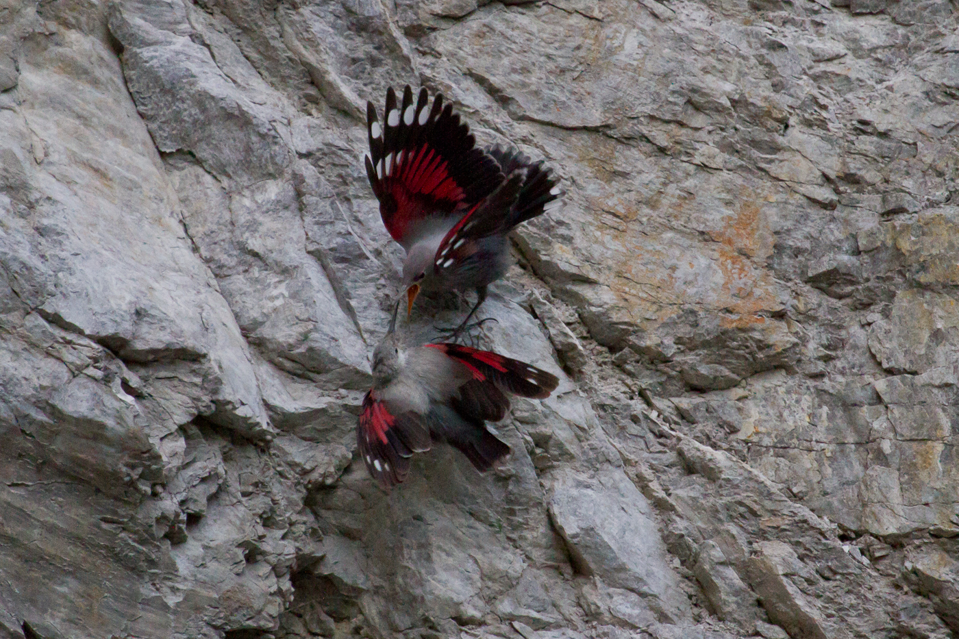 A juvenile Wallcreeper begs for food from its parents.