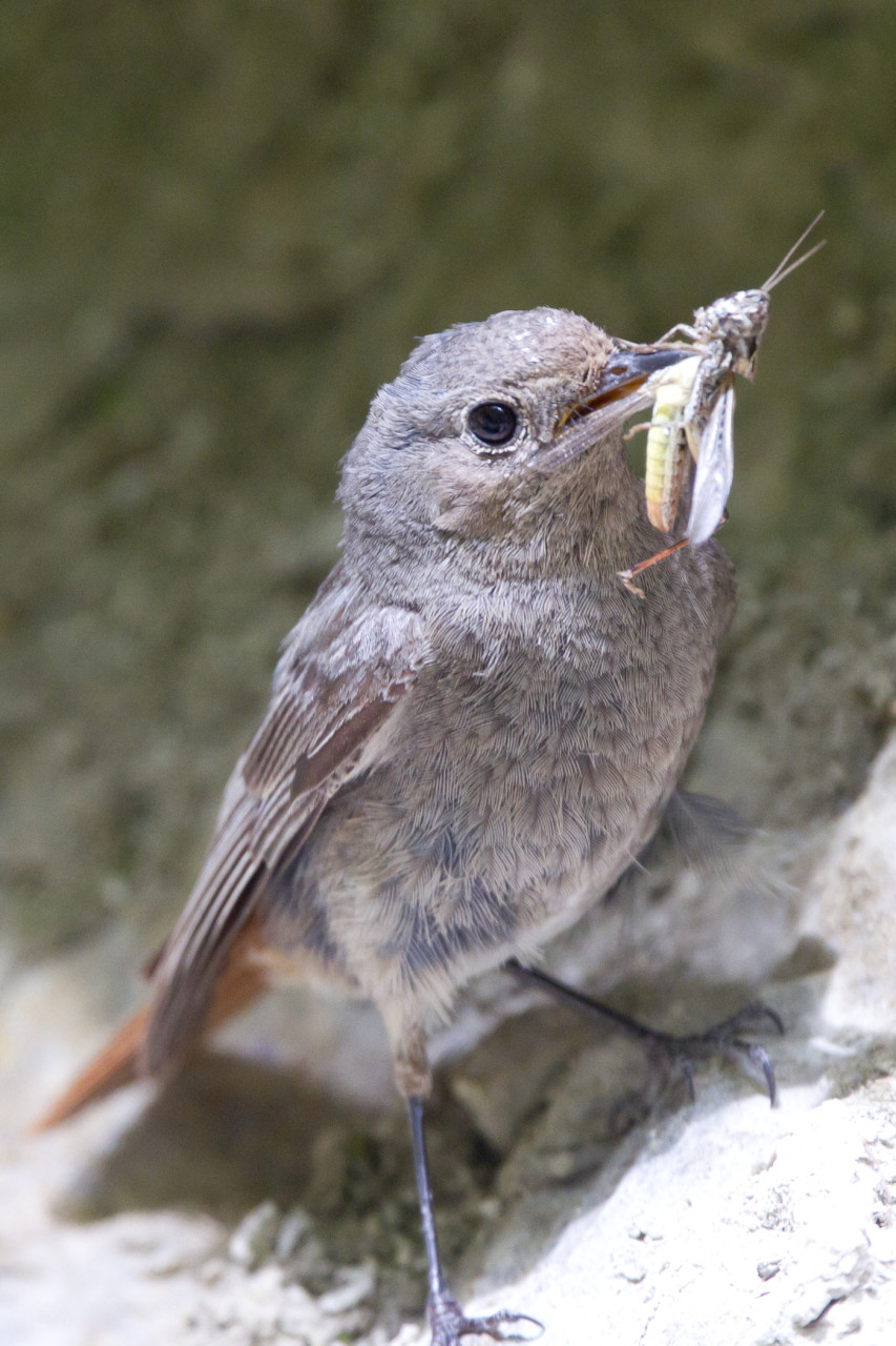A Common Redstart (Gartenrotschwanz) makes a meal of a grasshopper.