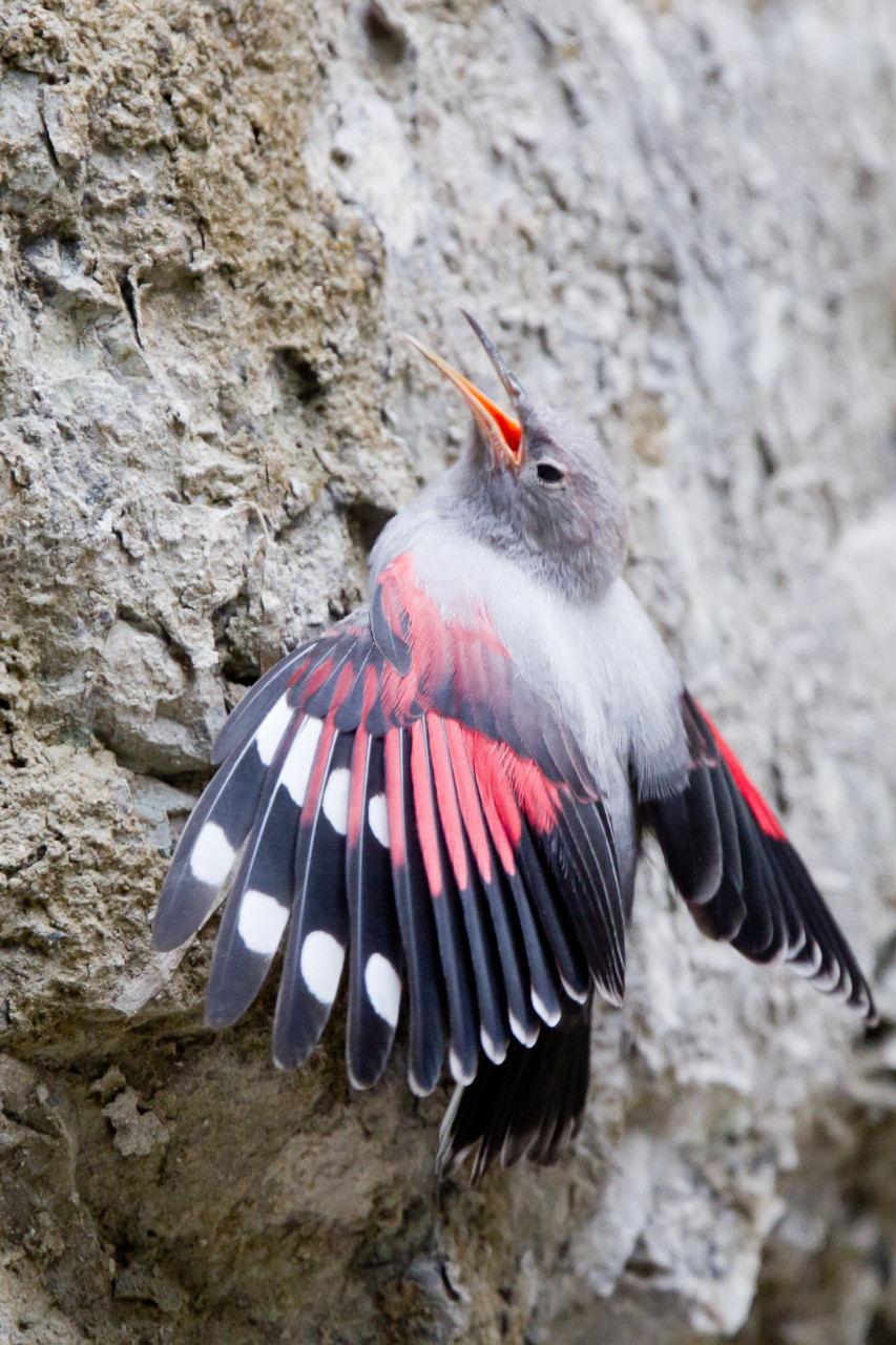 Wallcreeper (Mauerläufer). Photos shot in July in Tirol.