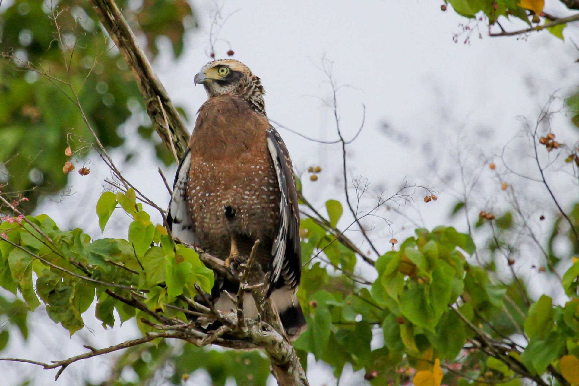 Juvenile Crested-Serpent Eagle, Kinabatangan