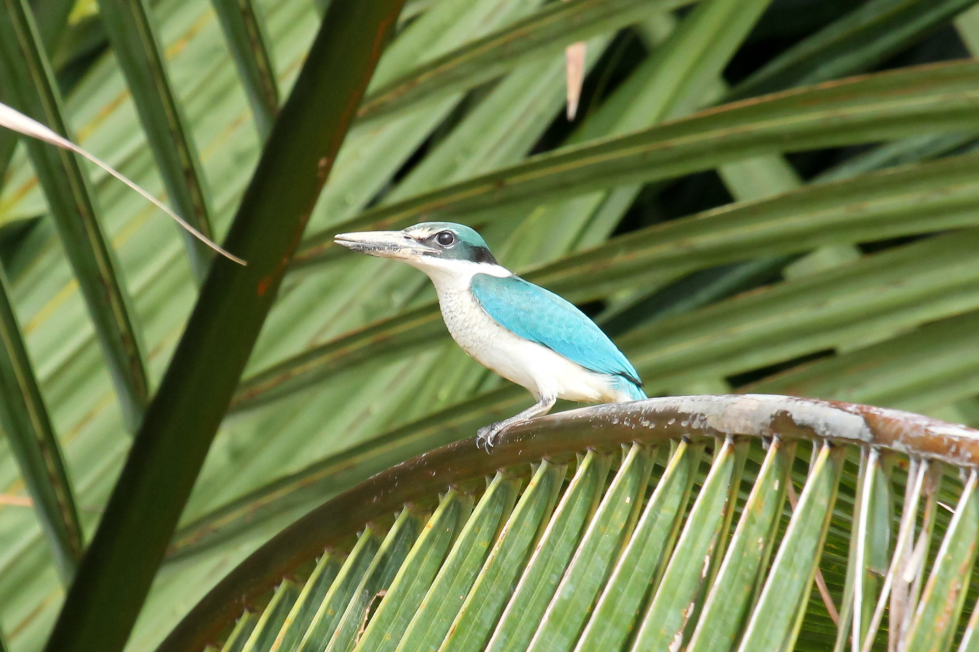 Collared Kingfisher, Kinabatangan, Borneo, Nov. 2012