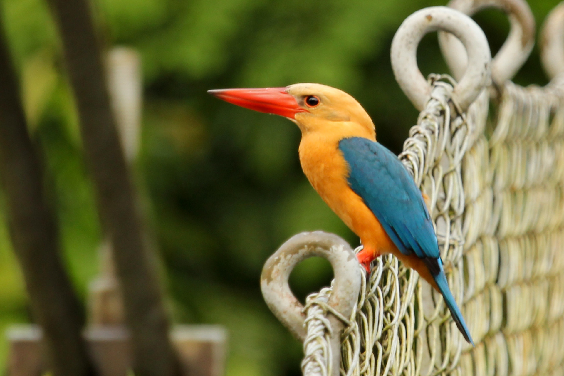 Stork-Billed Kingfisher, Danum Valley, Borneo, Nov. 2012
