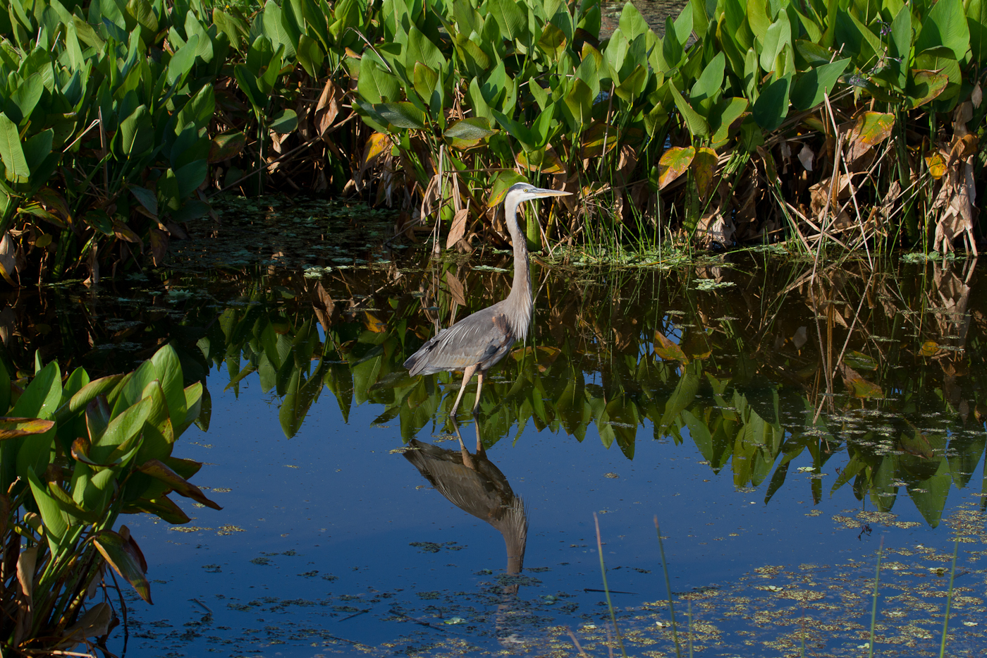 A cruising Great Blue Heron in the Celery Fields