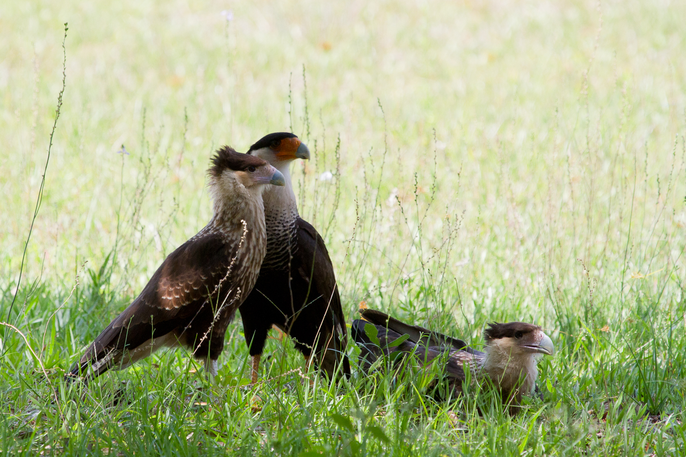 A family of Caracara