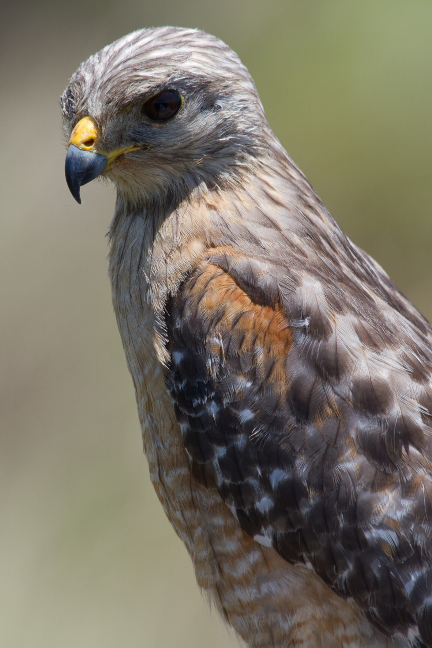 Red-Shouldered Hawk, Celery Fields