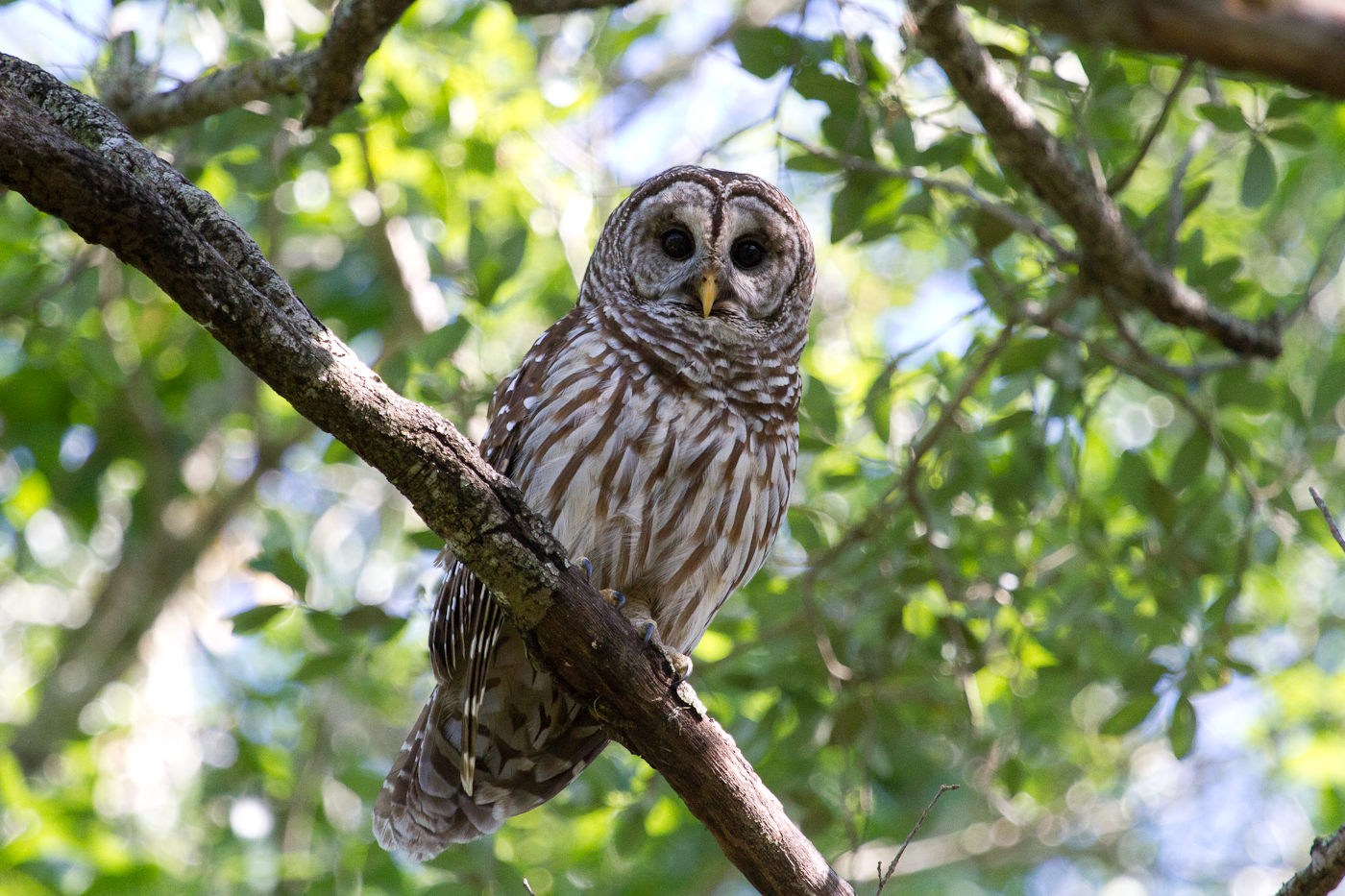 A Barred Owl keeps a watchful eye