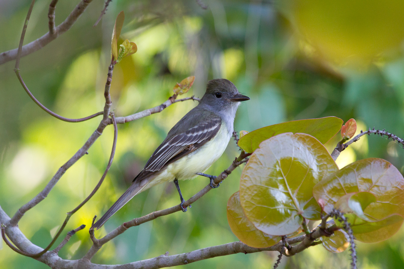 Great Crested Flycatcher in Lemon Bay Park