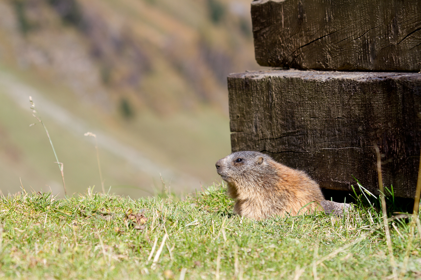 Marmot, Stubai Valley