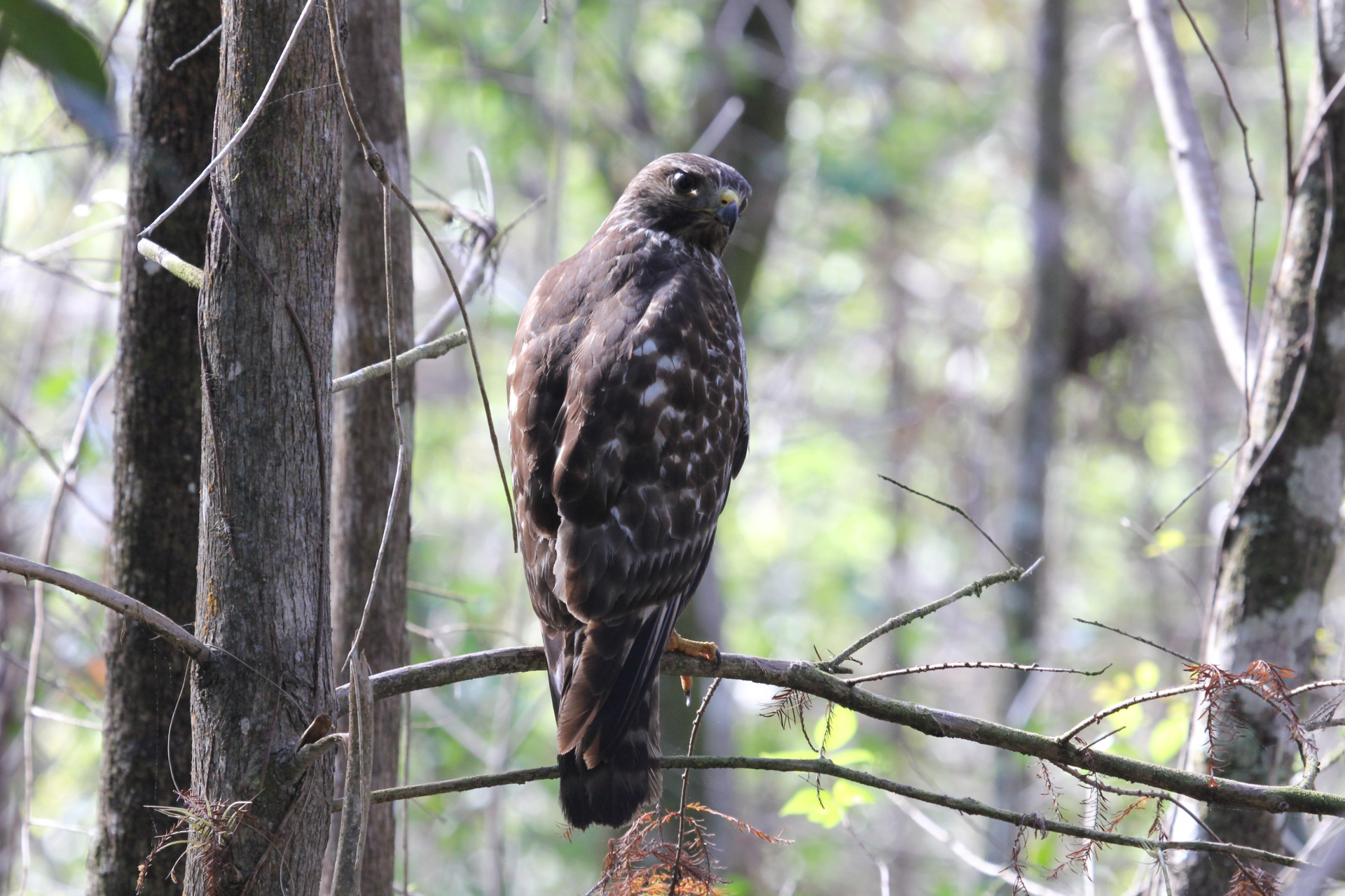 Sharp-Shinned Hawk, Everglades