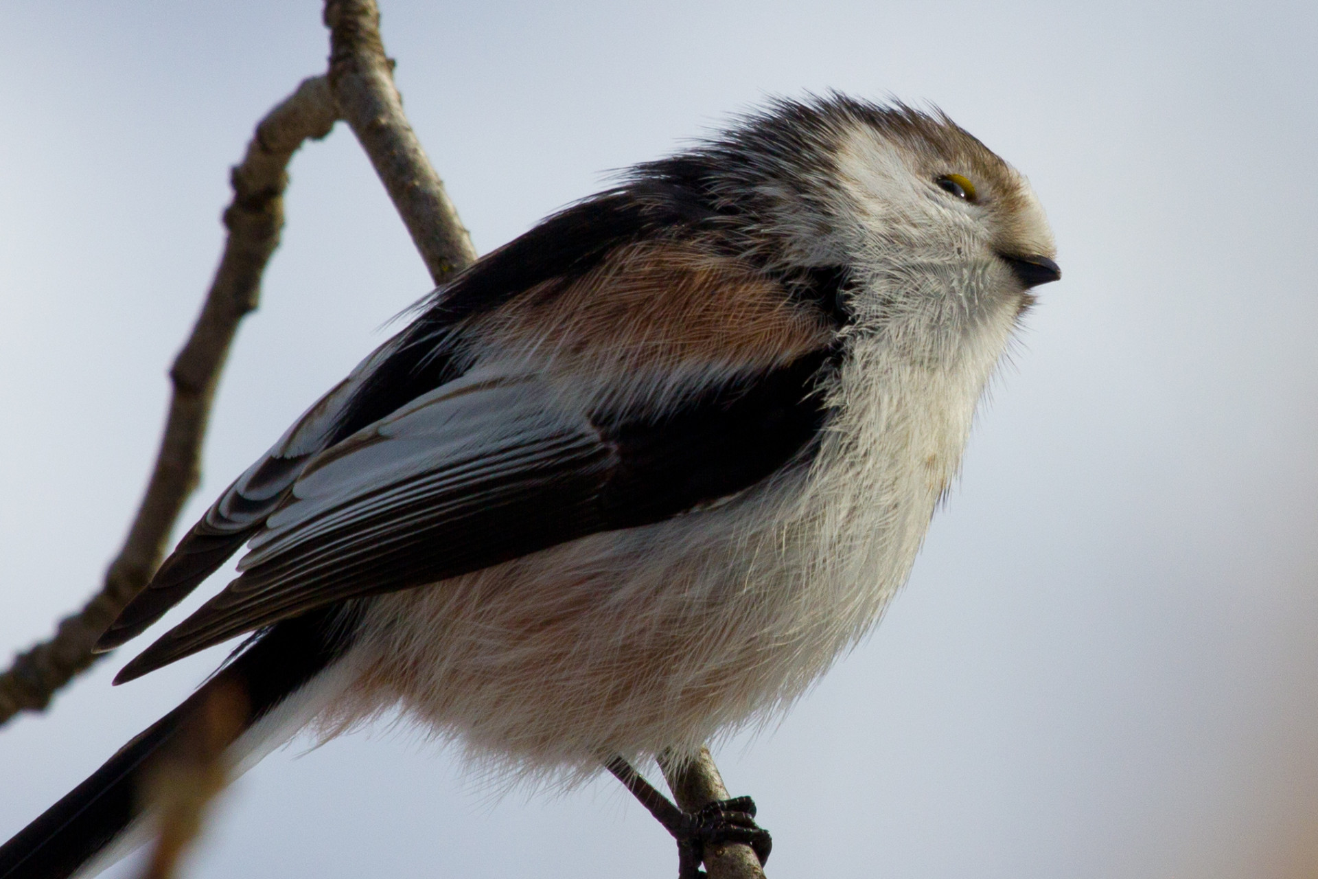 Long-Tailed Tit in Winter. (Schwanzmeise)
