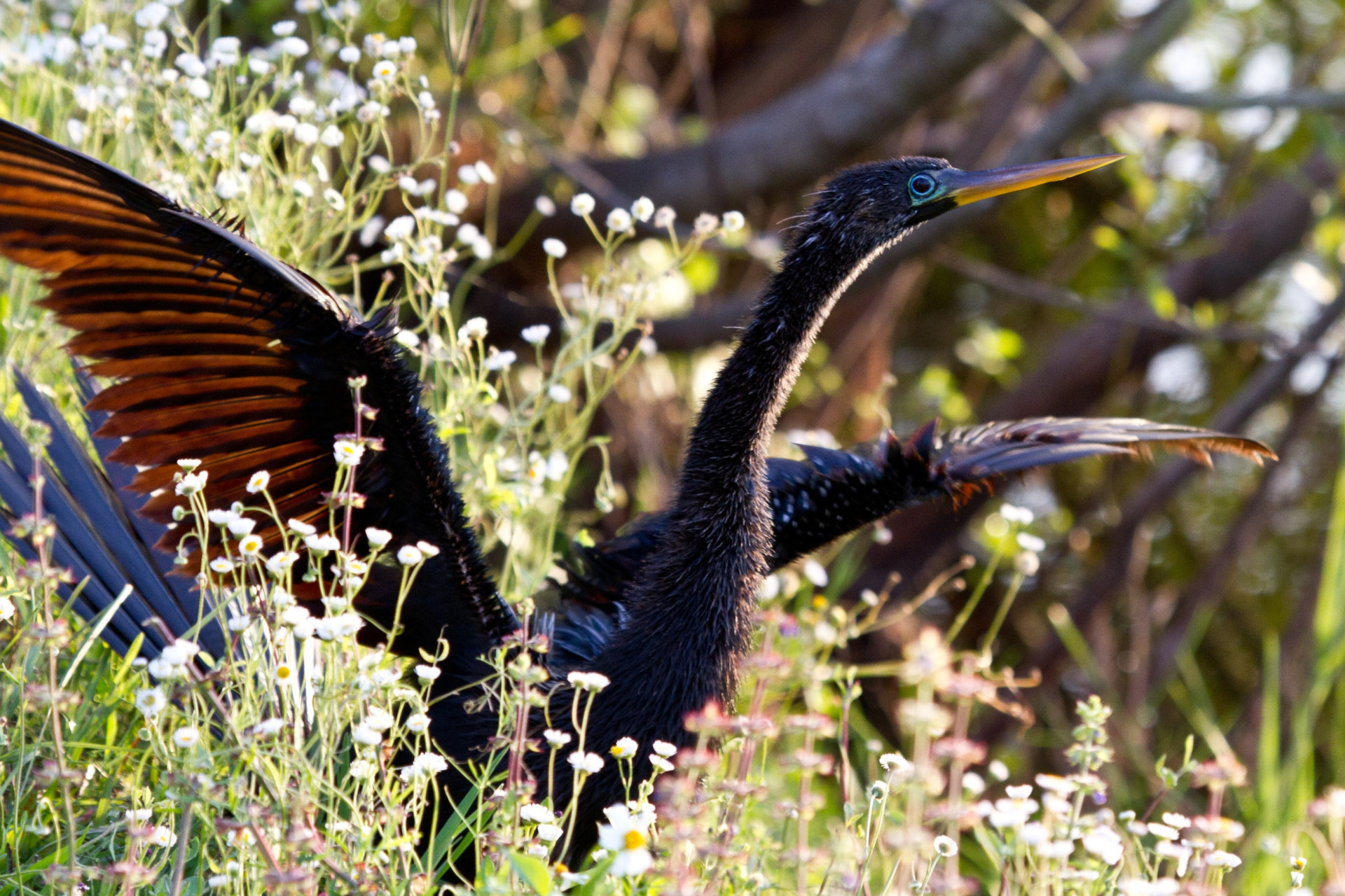 Anhinga (Snakebird) at the Rookery in Sarasota.