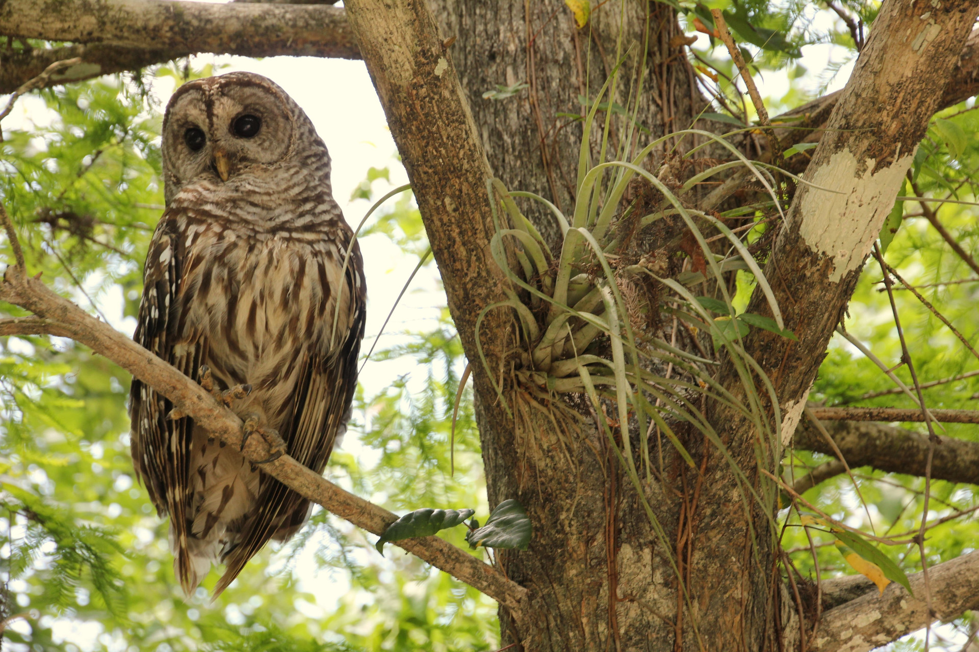 Barred Owl at Fakahatchee Strand.