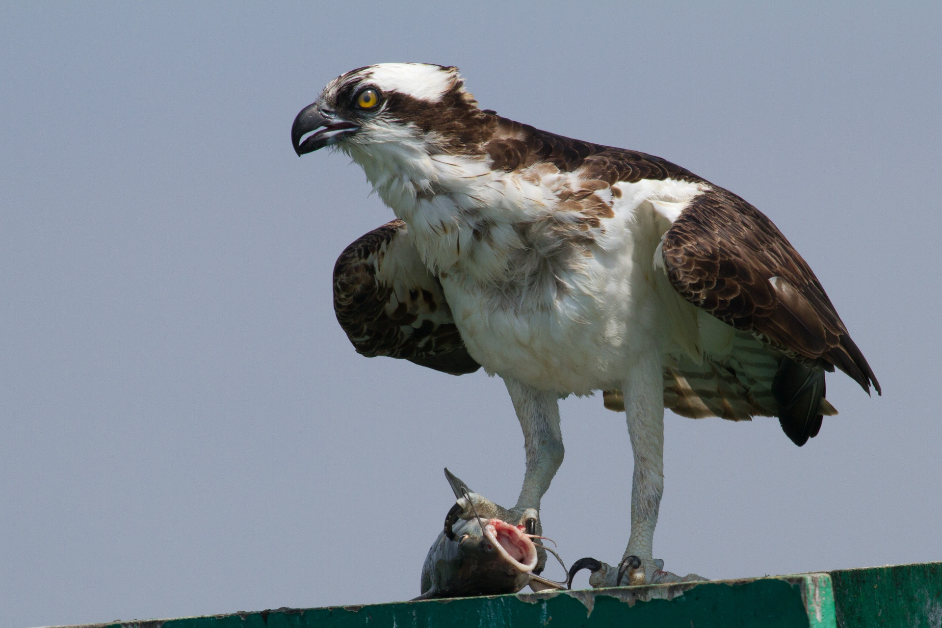 Osprey in Lemon Bay