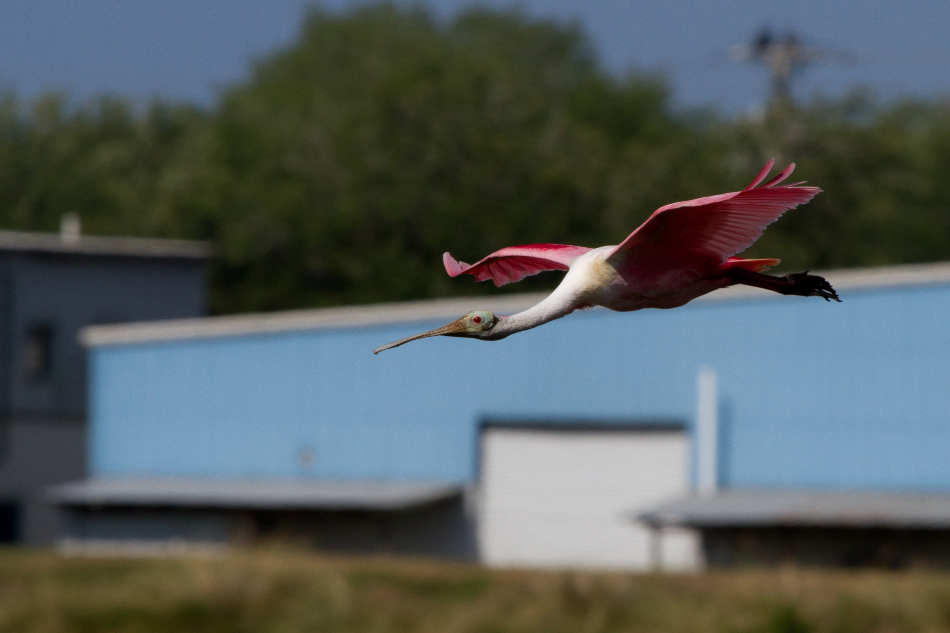 Roseate Spoonbill at the Celery Fields
