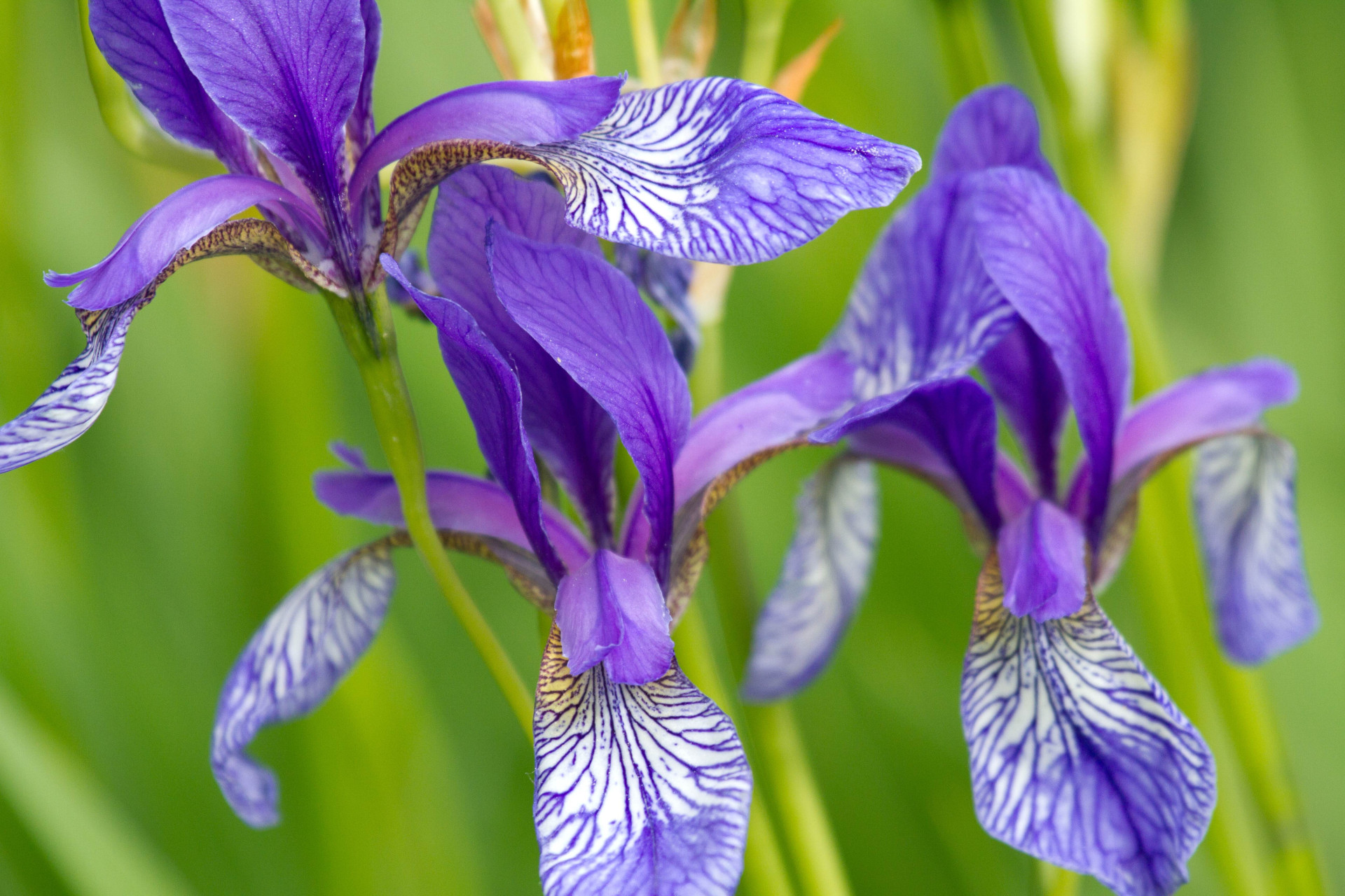 Siberian Iris at the Inzinger Gaisau
