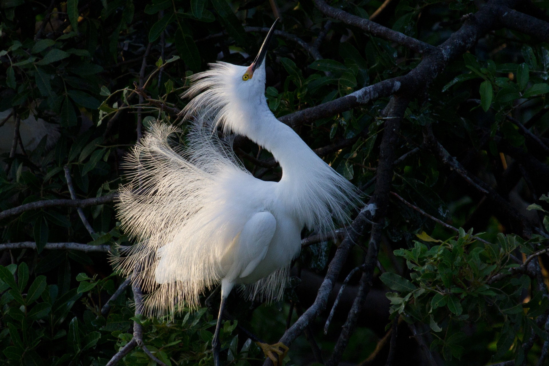 Snowy Egret at the Rookery.