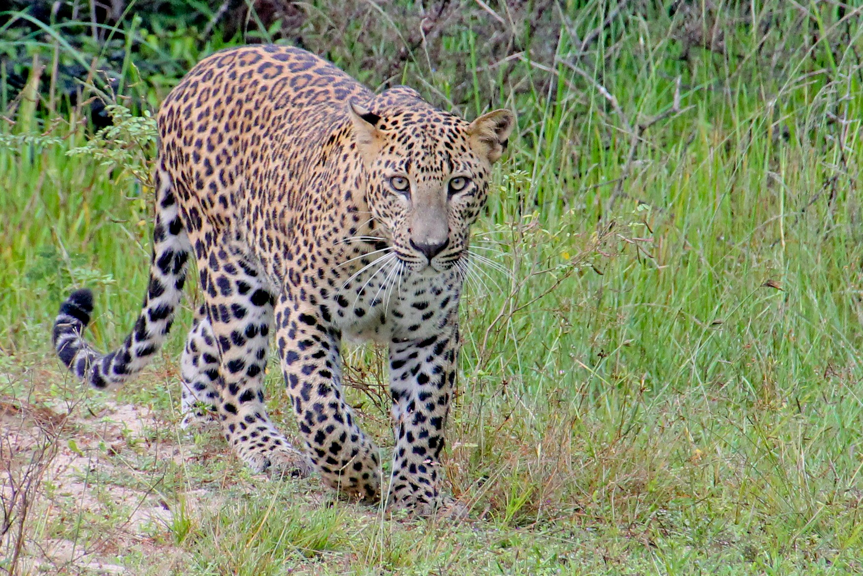 Sri Lankan Leopard, Yala National Park