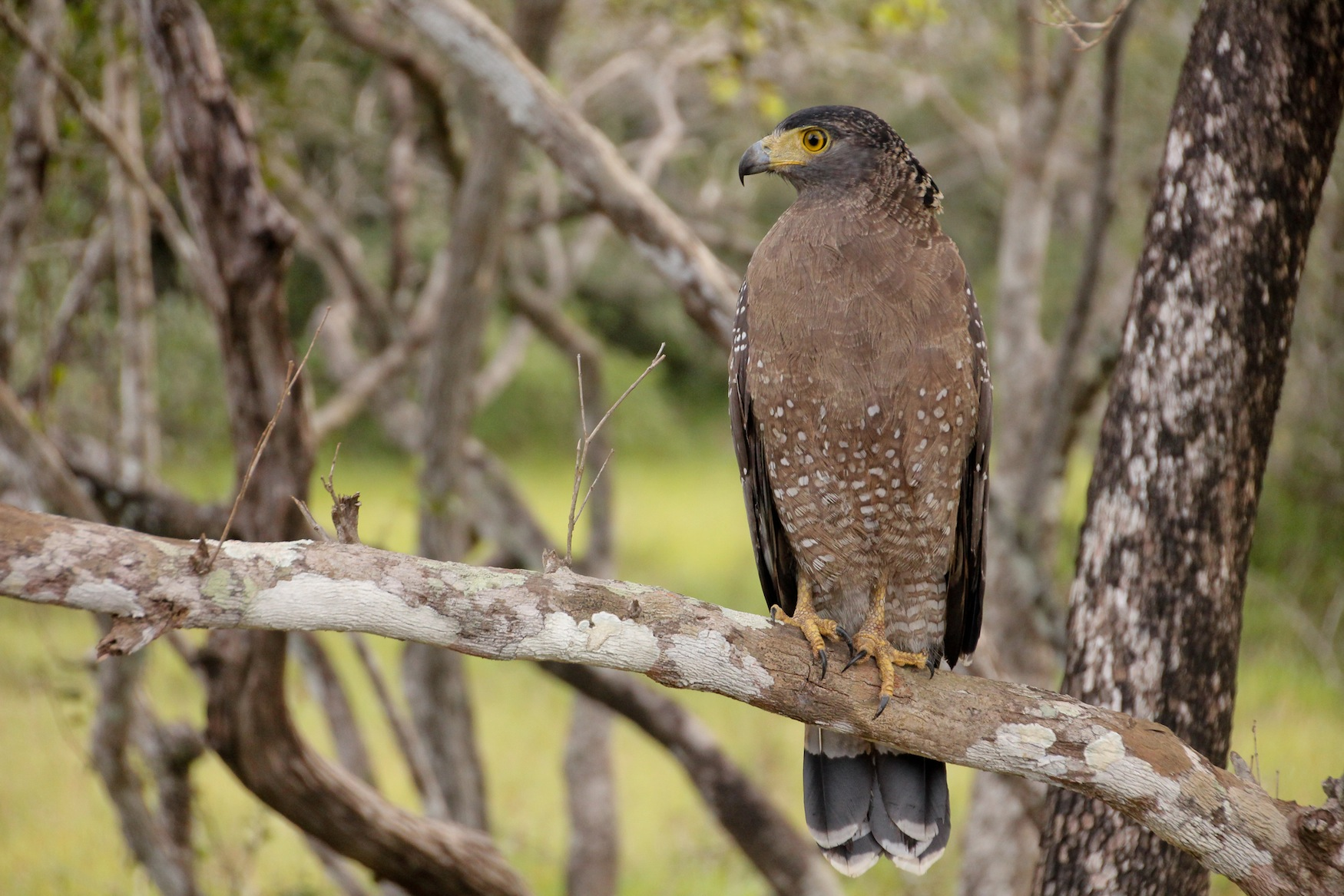 Serpent Eagle, Yala National Park