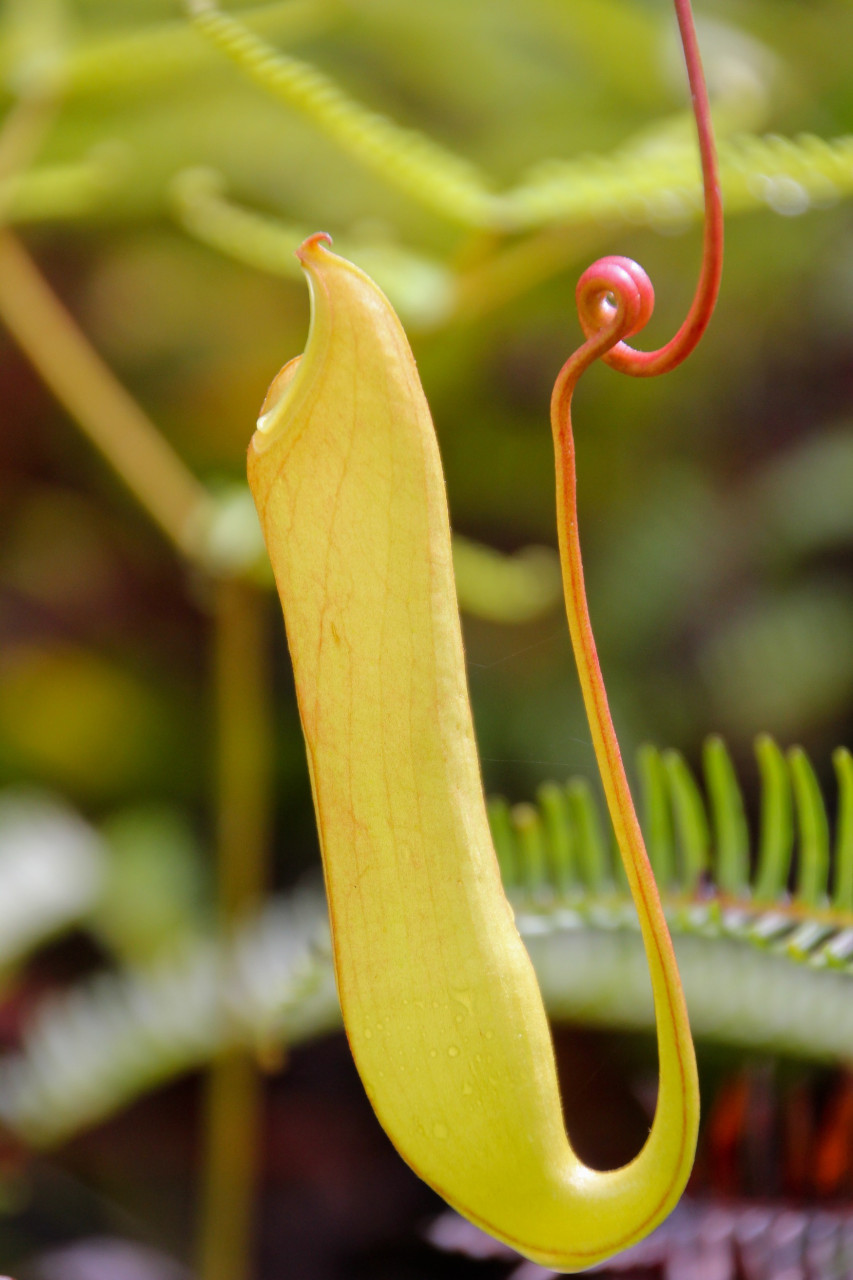 Pitcher plant, Sinharaja Rainforest
