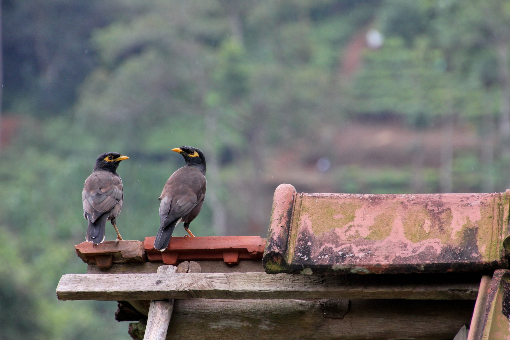 Mynah Bird, Sri Lankan Highlands