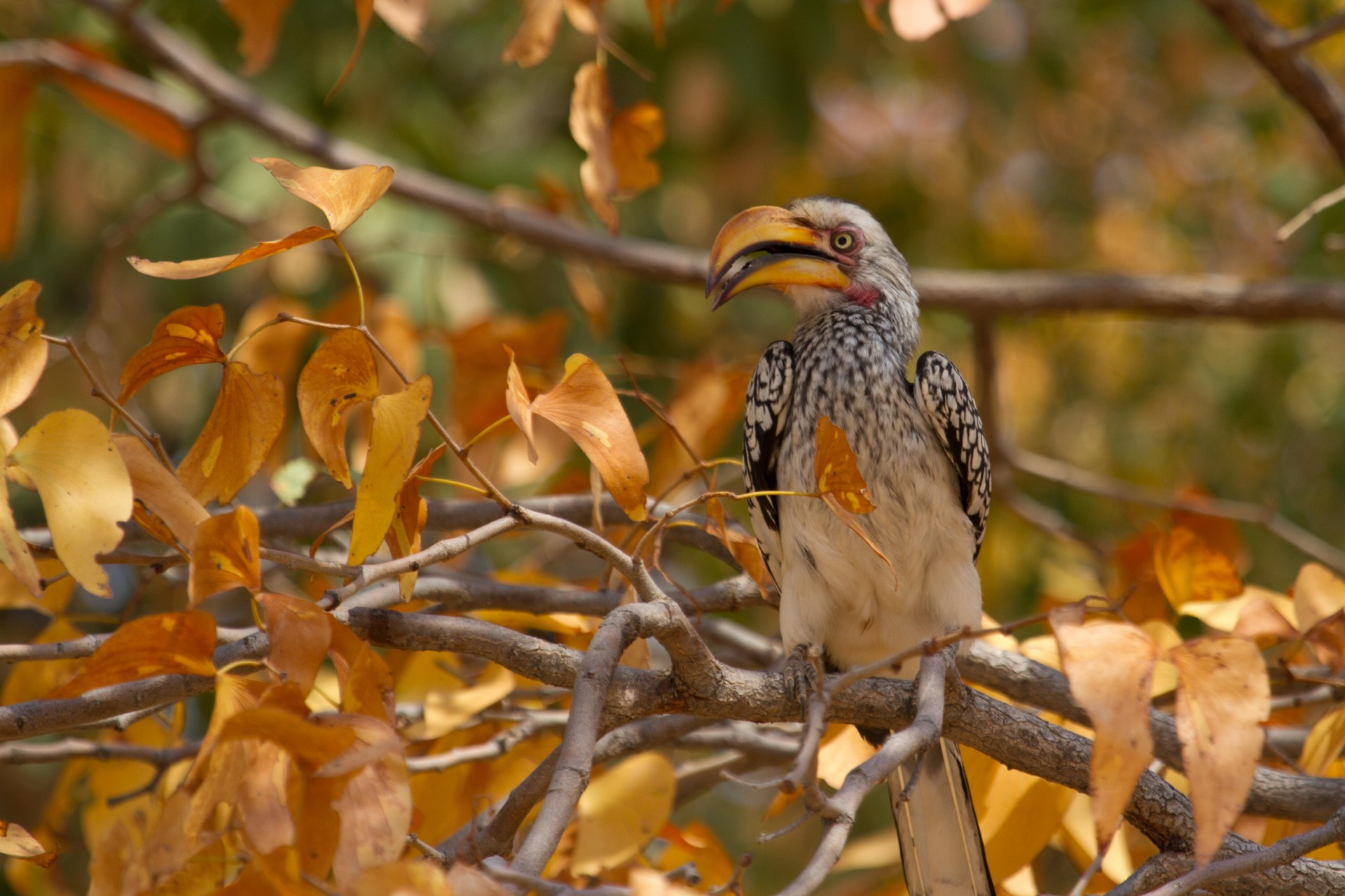 Southern-Yellow-Billed Hornbill, Damaraland