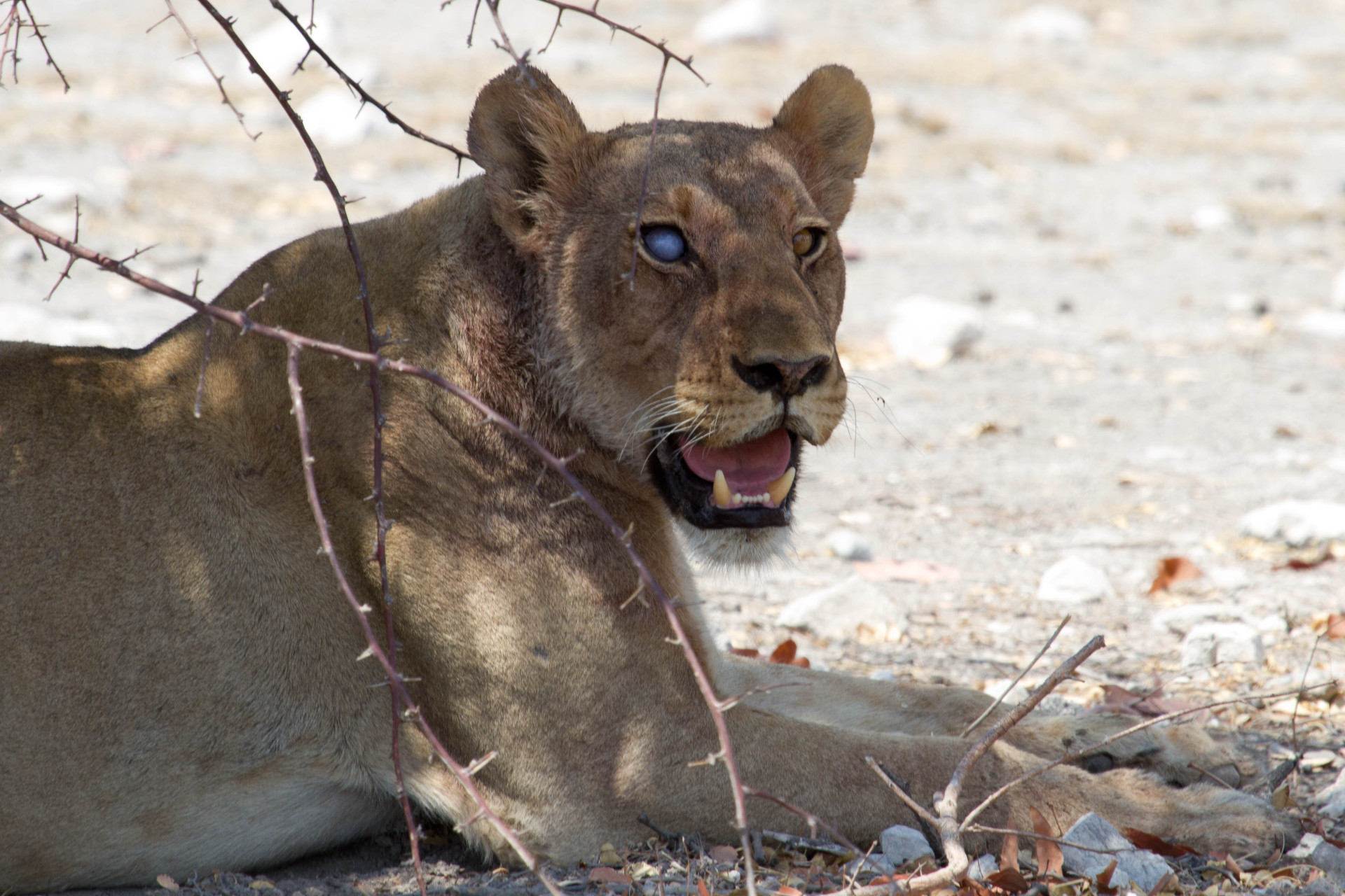 She was part of a pride of 8 ladies we saw just near the entrance to Etosha.