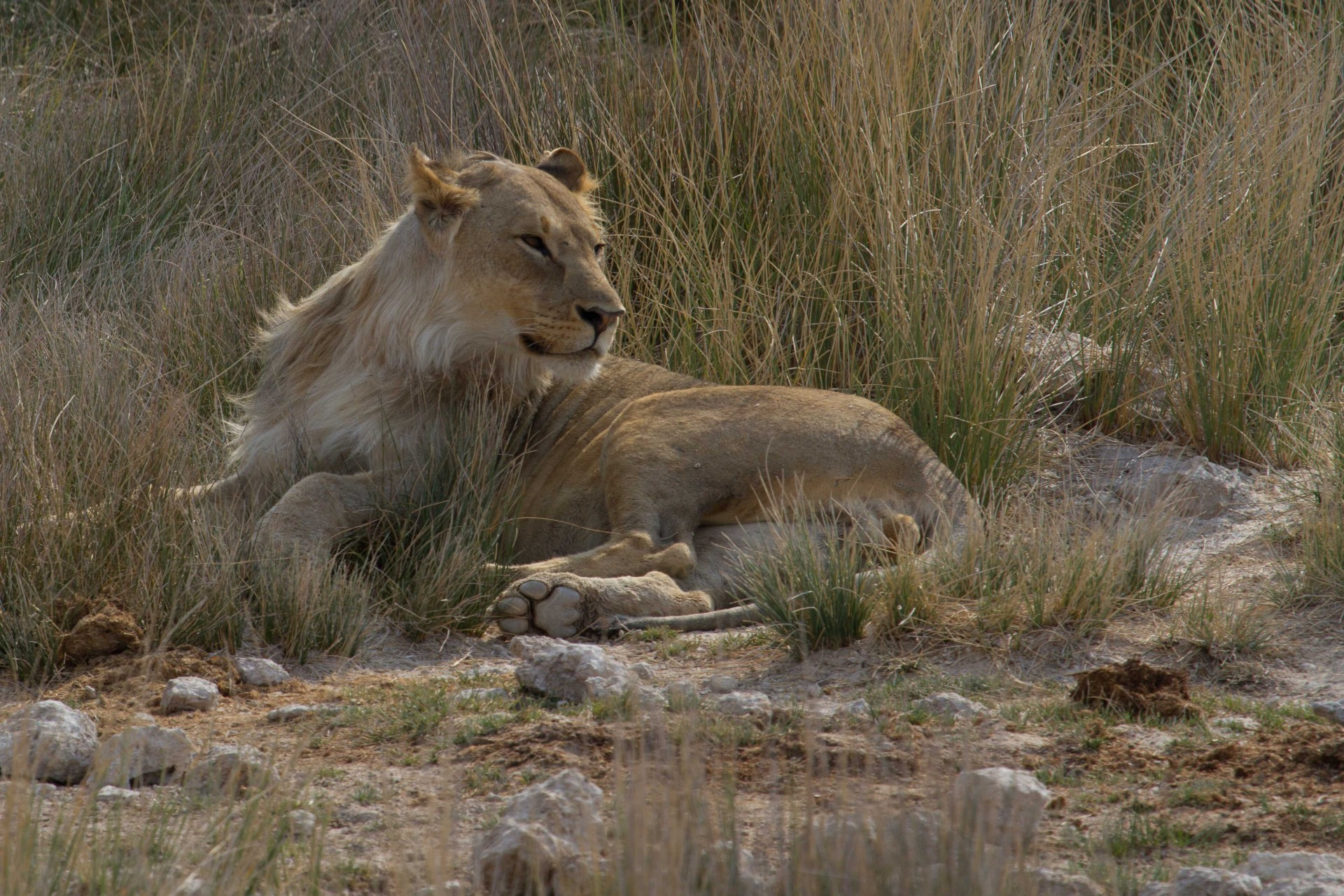 Young Male Lion, Etosha