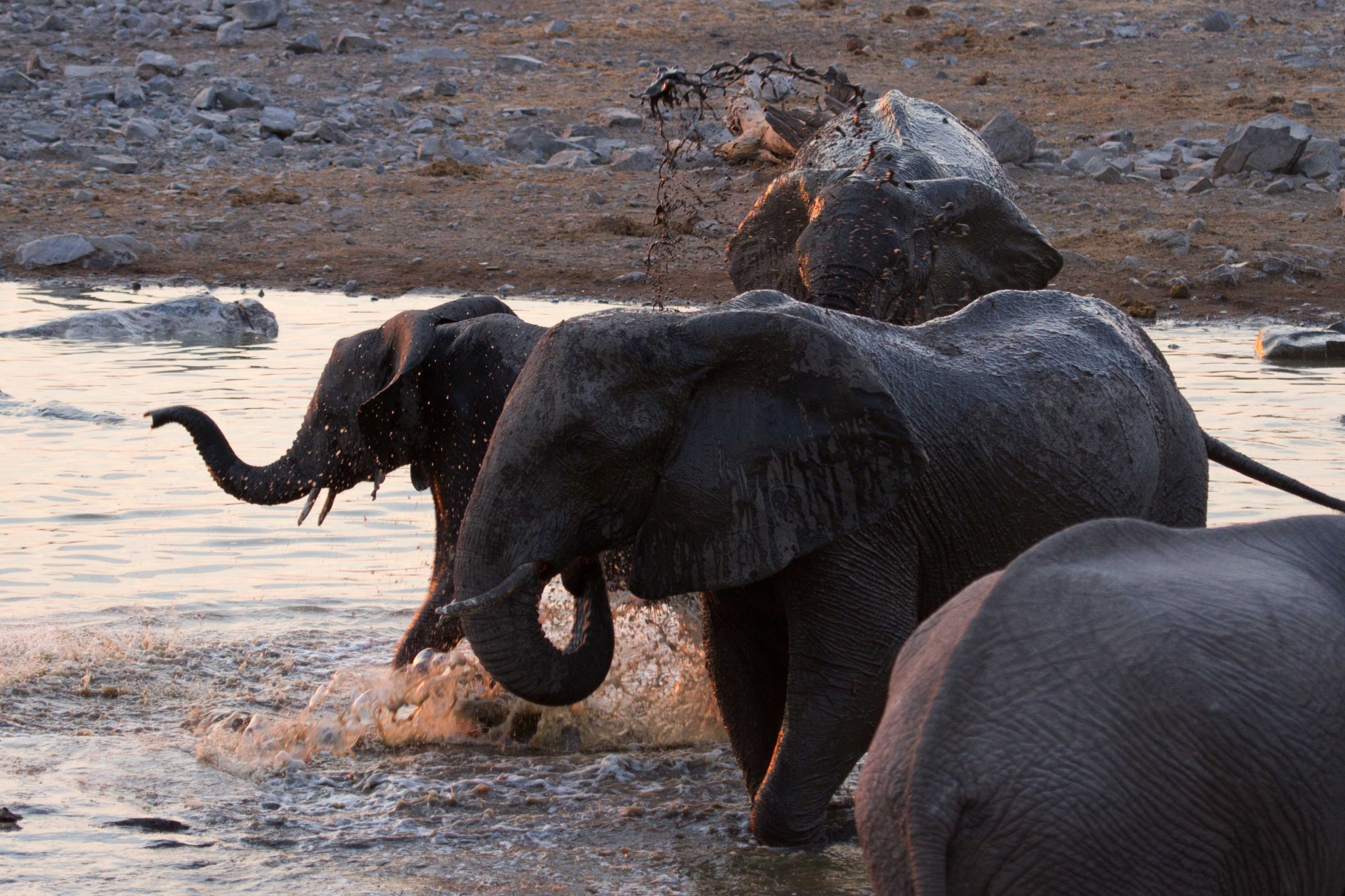 Elephants at the Halali Watering Hole, Etosha