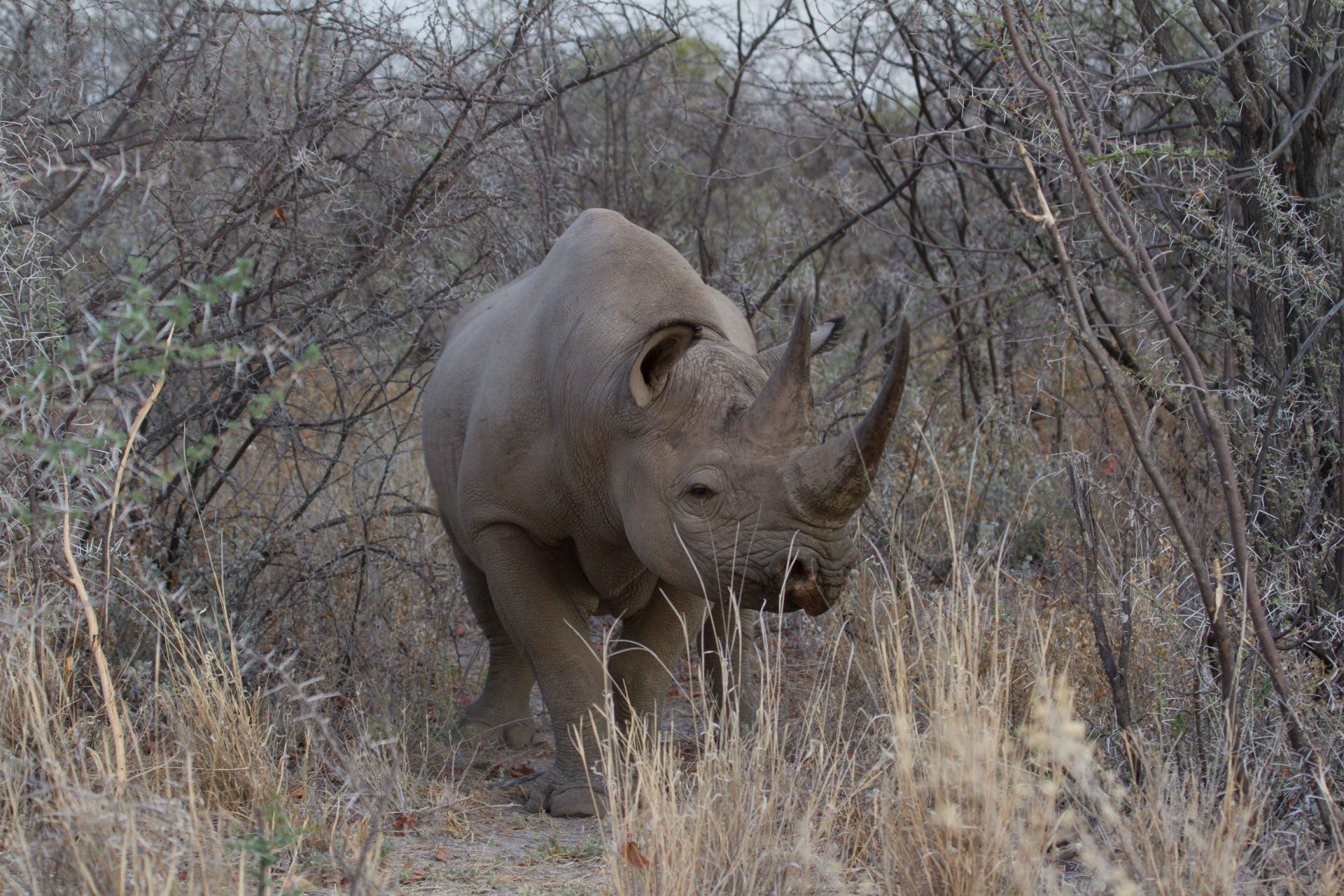 Black Rhino, seen just off the road, Etosha National Park
