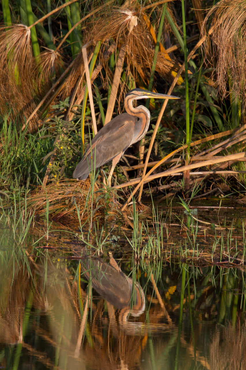 Purple Heron, near Ngepi Camp