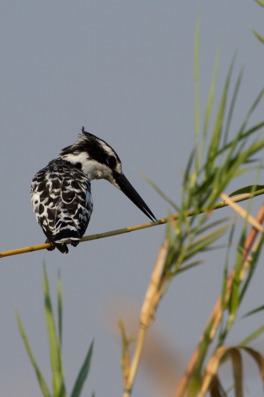 Pied Kingfisher, Okavango River, Caprivi Strip