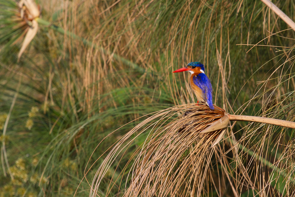 Malachite Kingfisher, Okavango