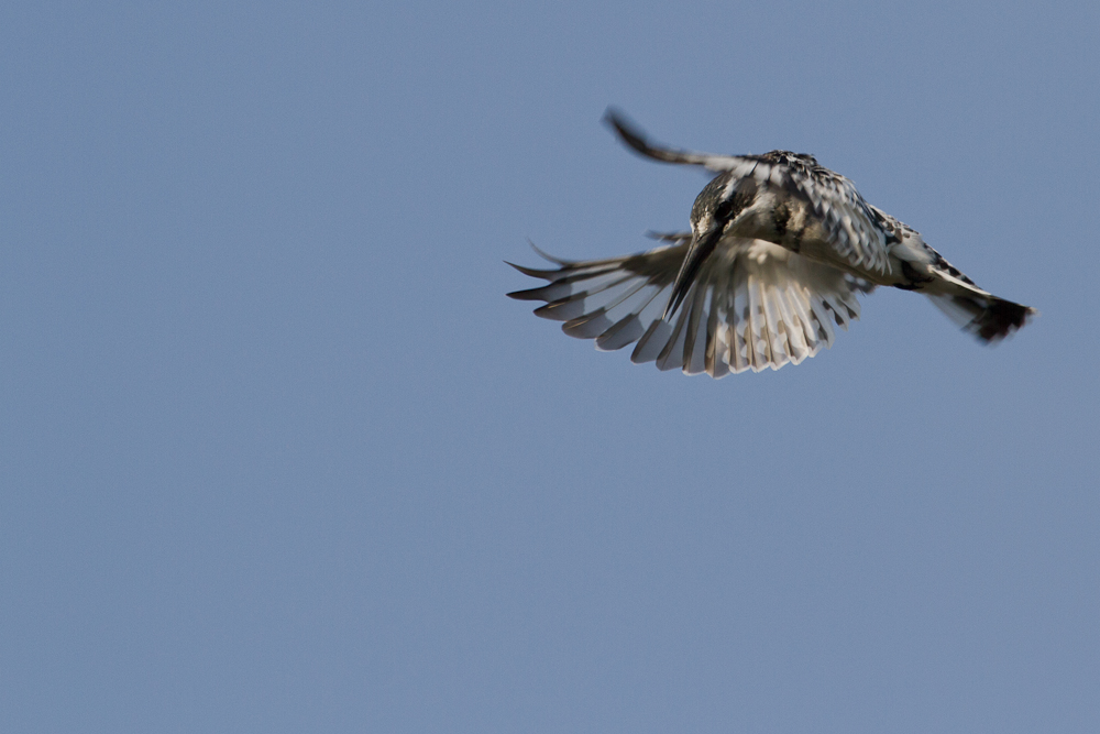Pied Kingfisher, Caprivi Strip, Namibia, Oct. 2013
