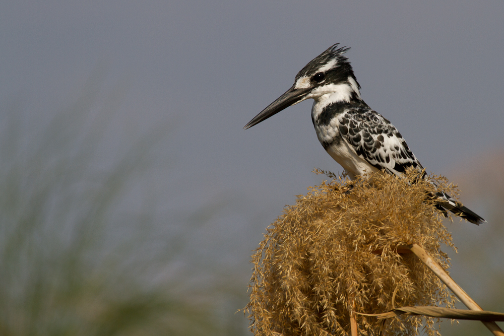 Pied Kingfisher, Caprivi Strip, Namibia, Oct 2013