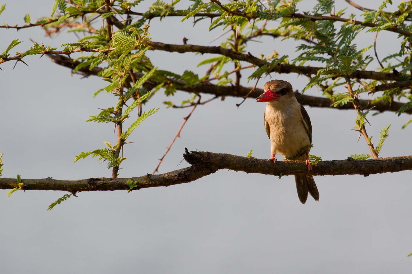 Brown-Hooded Kingfisher, Chobe River, Botswana, Oct. 2013