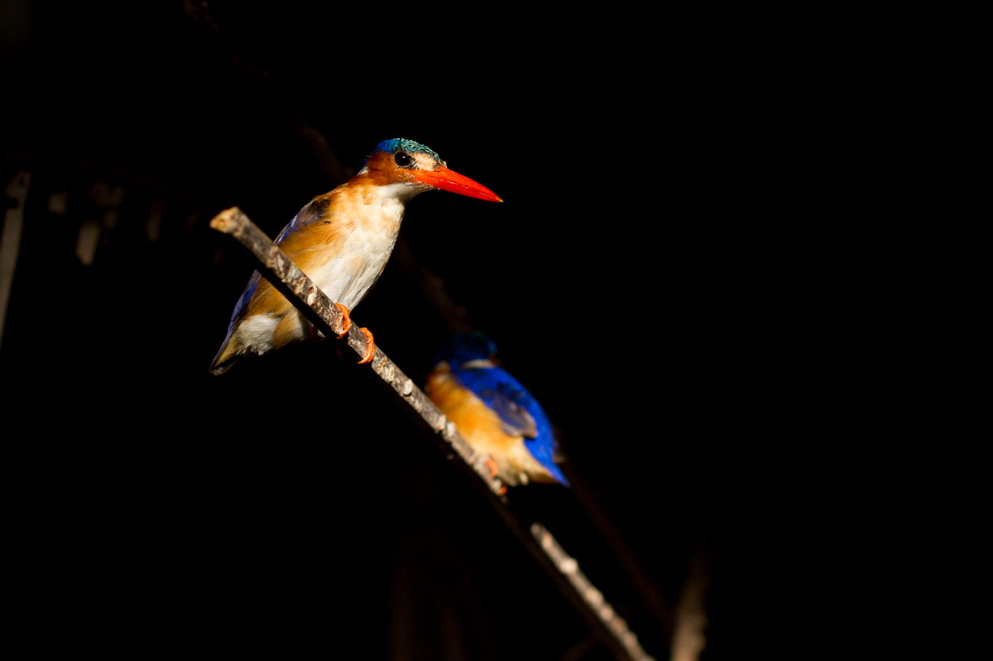 Malachite Kingfishers, photographed during a night boat cruise