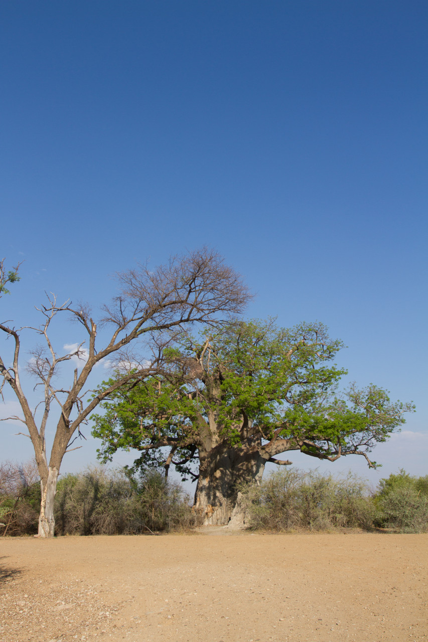 Baobab tree in Mahonga Reserve
