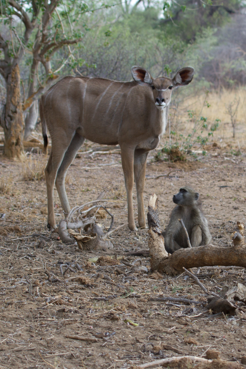 Strange friends. The baboons knock the fruit down and the Kudu clean up.