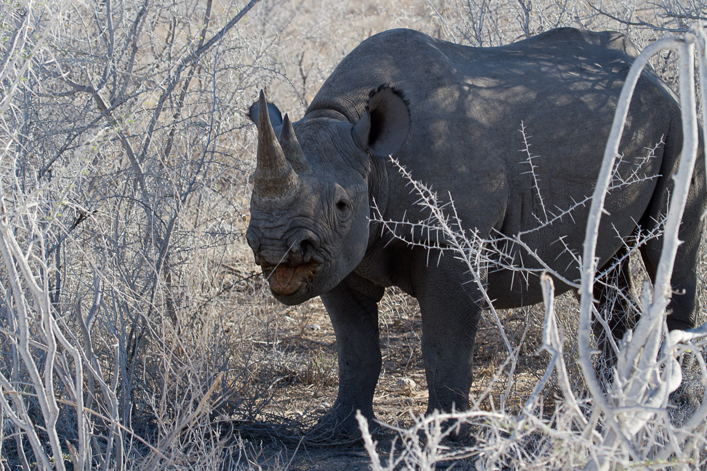 Black Rhino. He is actually eating thorns. Yum!