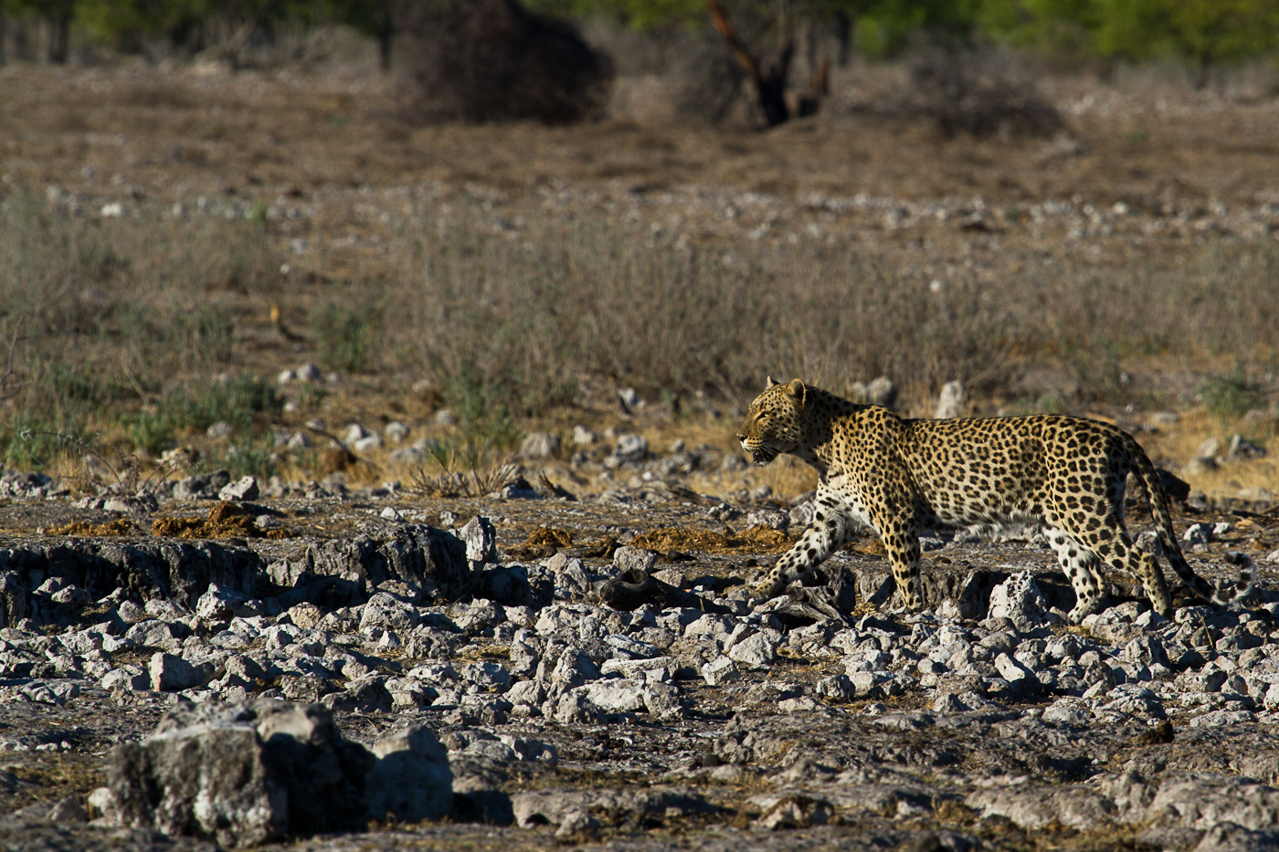 Leopard at Rietfontein.