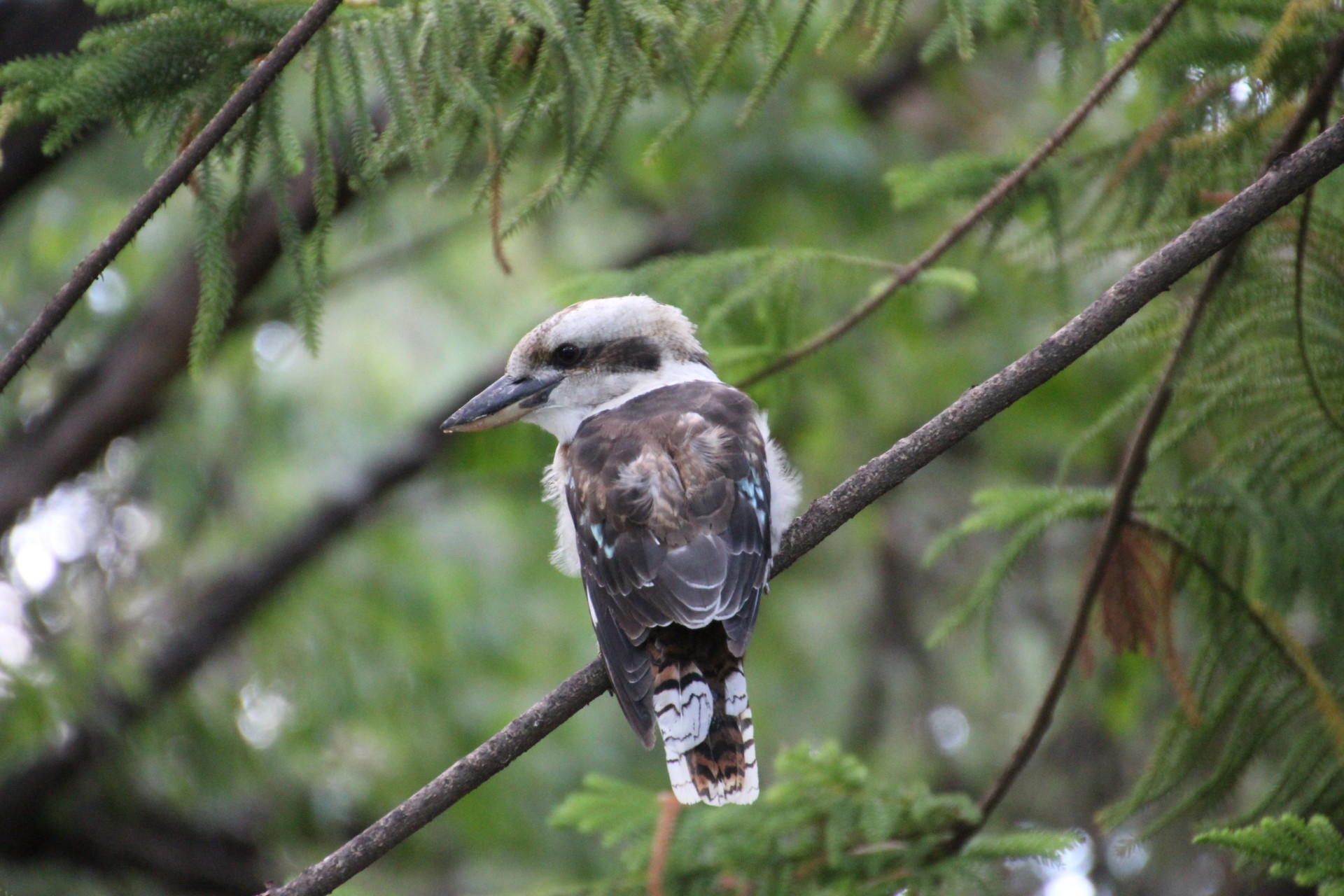 Laughing Kookabura, Perth, Australia, Sept. 2012
